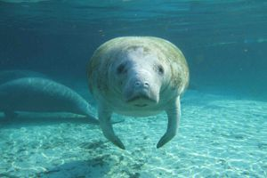 Florida manatee hovers underwater and stares at camera