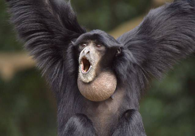 A brown Siamang with its balloon-like throat pouch with its arms in the air and its mouth open as if screaming