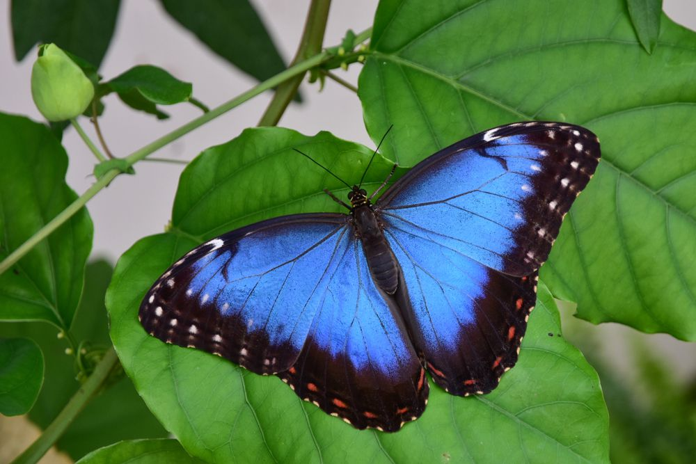 A blue morpho butterfly on a leaf