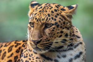 Amur leopard close-up portrait