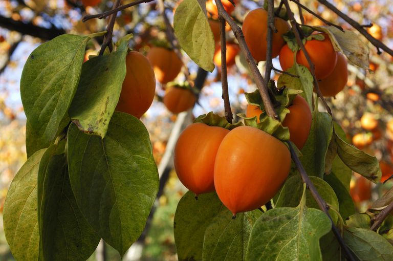 Persimmons growing on a tree branch