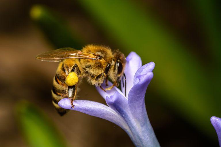 ¿Por qué las abejas tienen bolsillos?