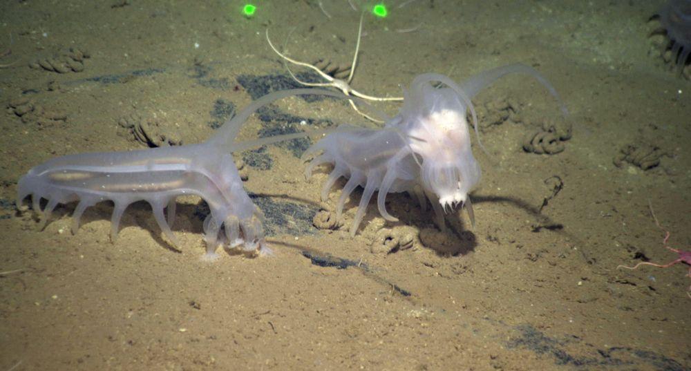 Pair of sea pigs walking on the ocean floor