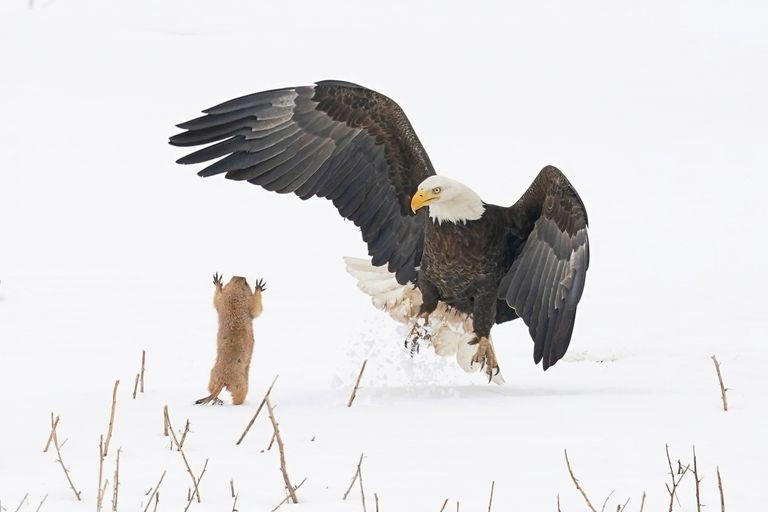 bald eagle gets a surprise