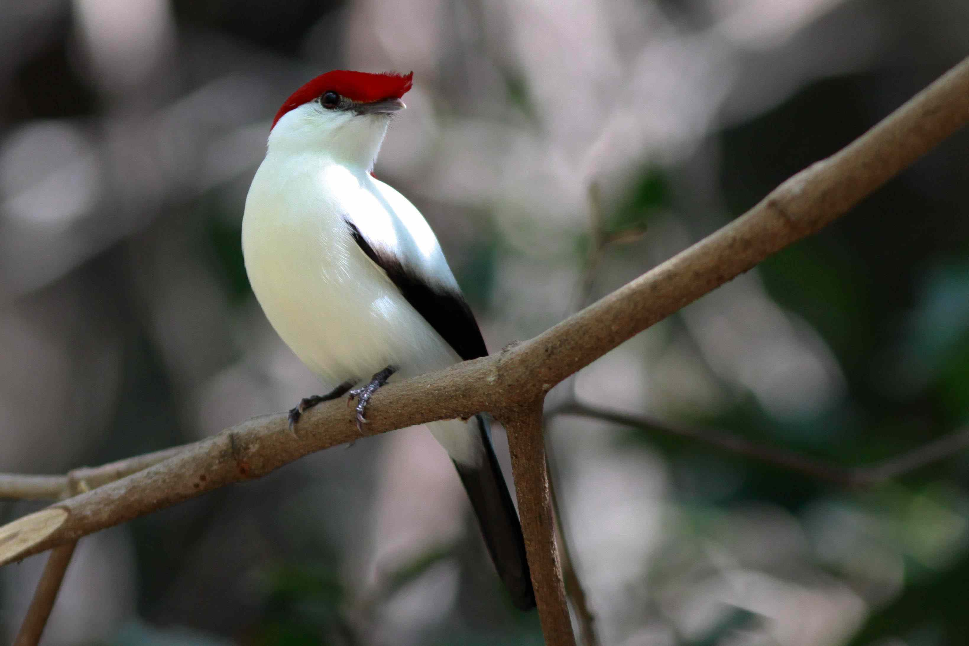 araripe manakin perched on a branch