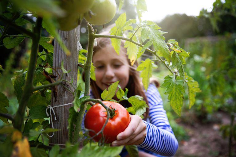 girl in garden Organic Tomatoes - stock photo