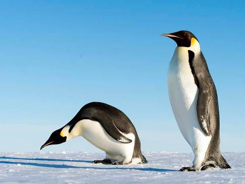 Giant 6 Foot 8 Penguin Discovered In Antarctica