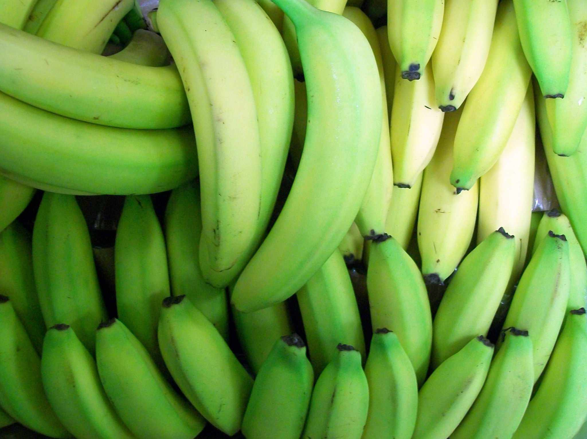 Several bunches of green bananas