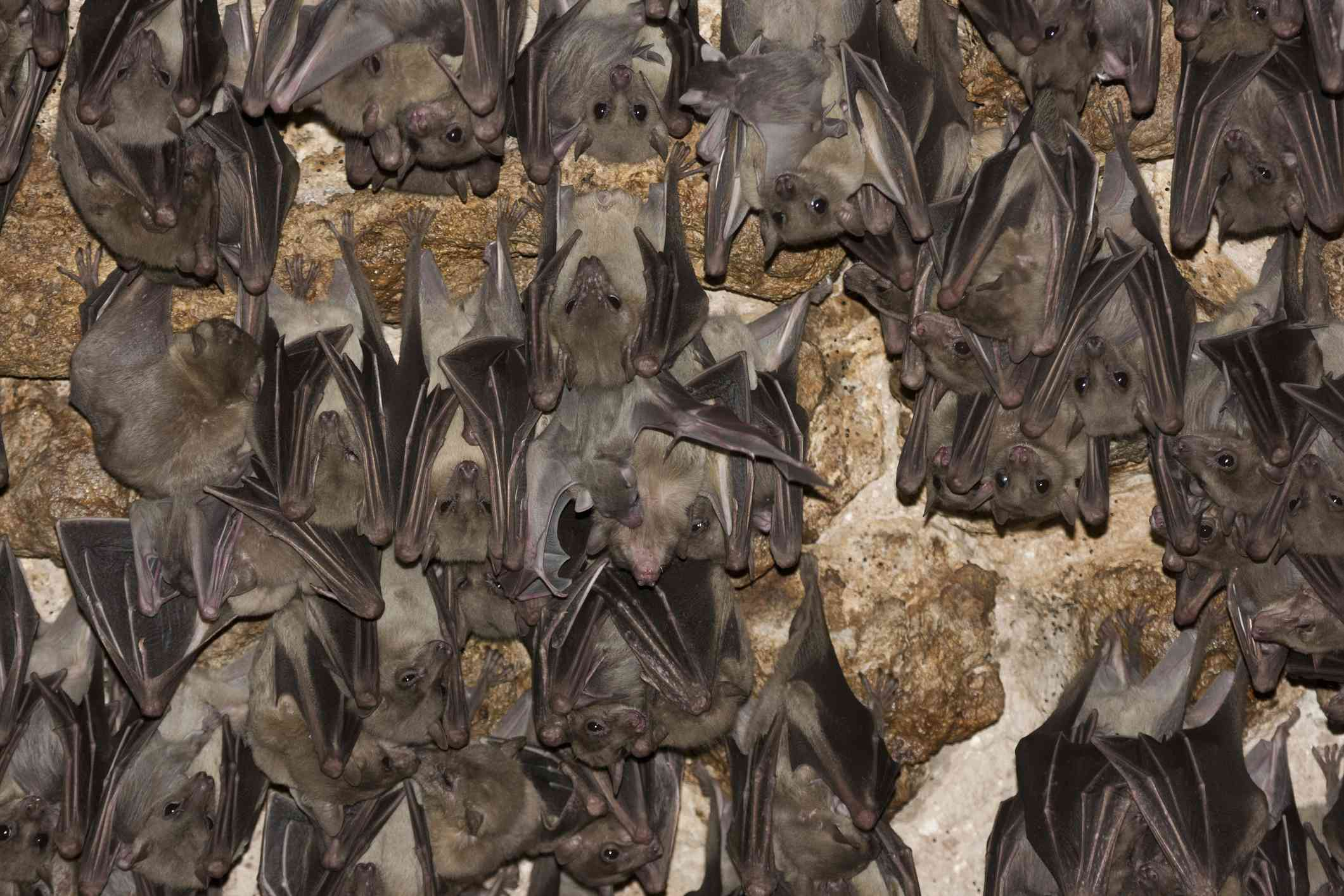 Egyptian rousette bats hanging in a large group at night