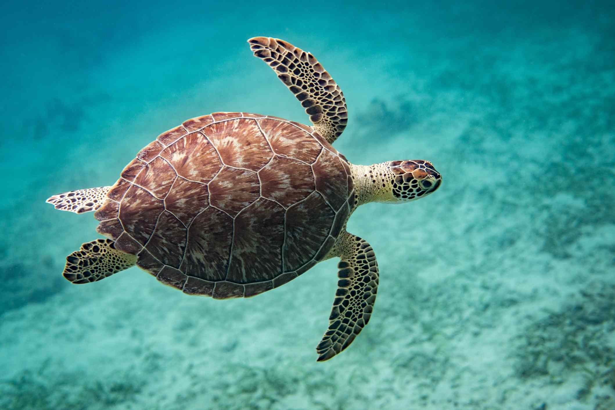 overhead video of green sea turtle swimming underwater, showing brown shell