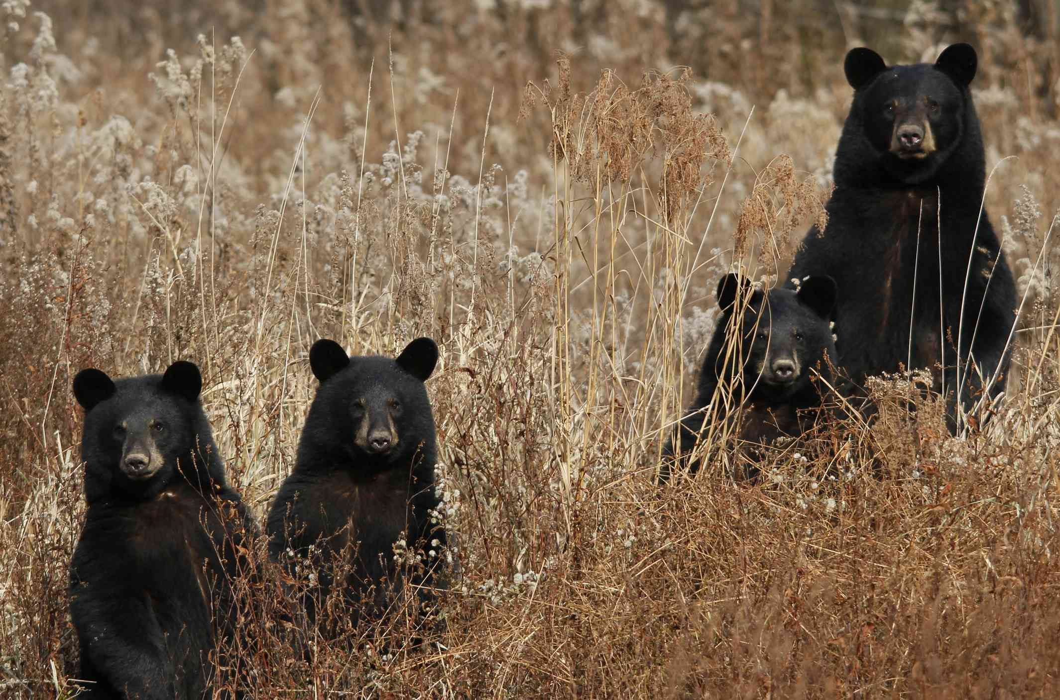 Female black bear with three cubs standing in a wheat field