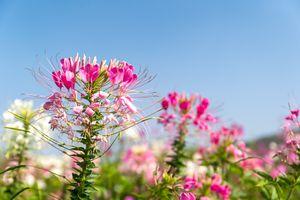 Pink spider flowers against blue sky