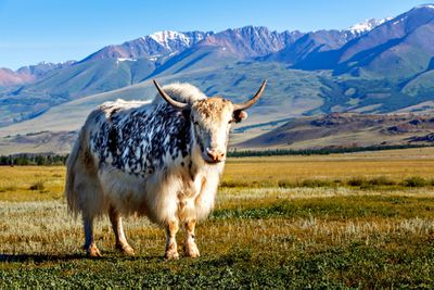 yak standing in grass with mountains in the background