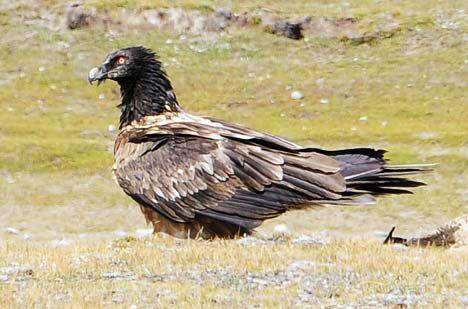 bearded vulture bird species tibet photo