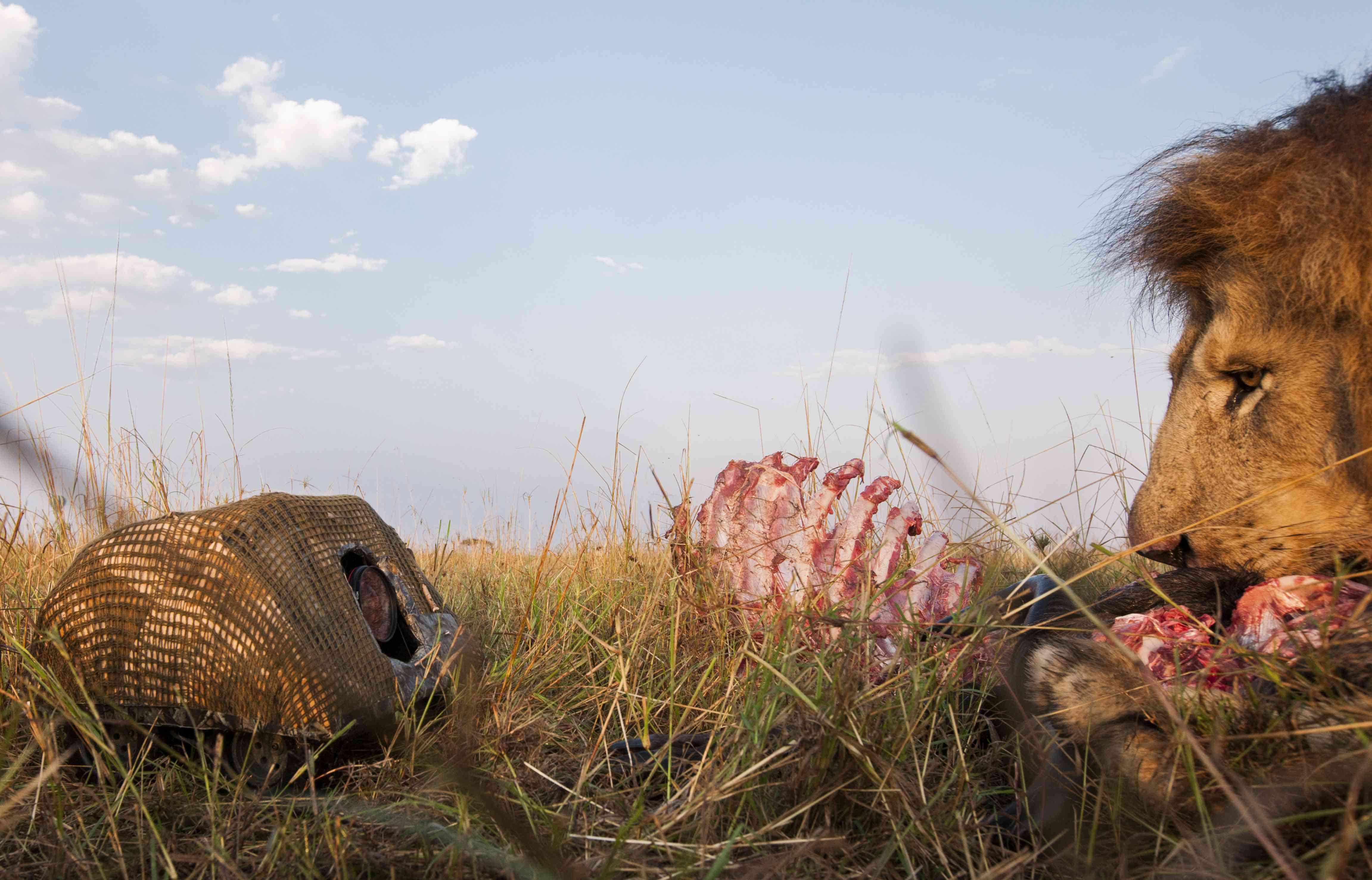 lion eyes BeetleCam while eating dinner