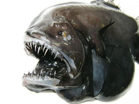 longhead dreamer anglerfish photo