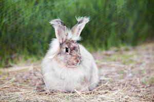 Angora rabbit on straw