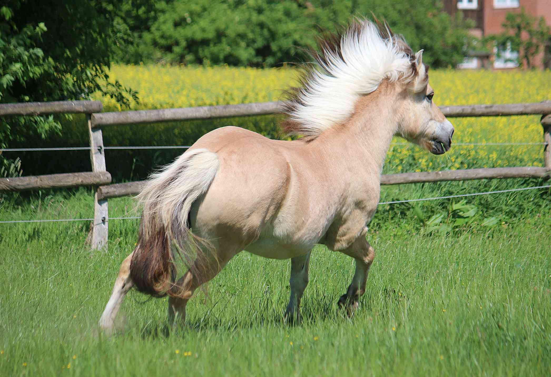 A fjord horse with a flowing black and white mane runs in a field