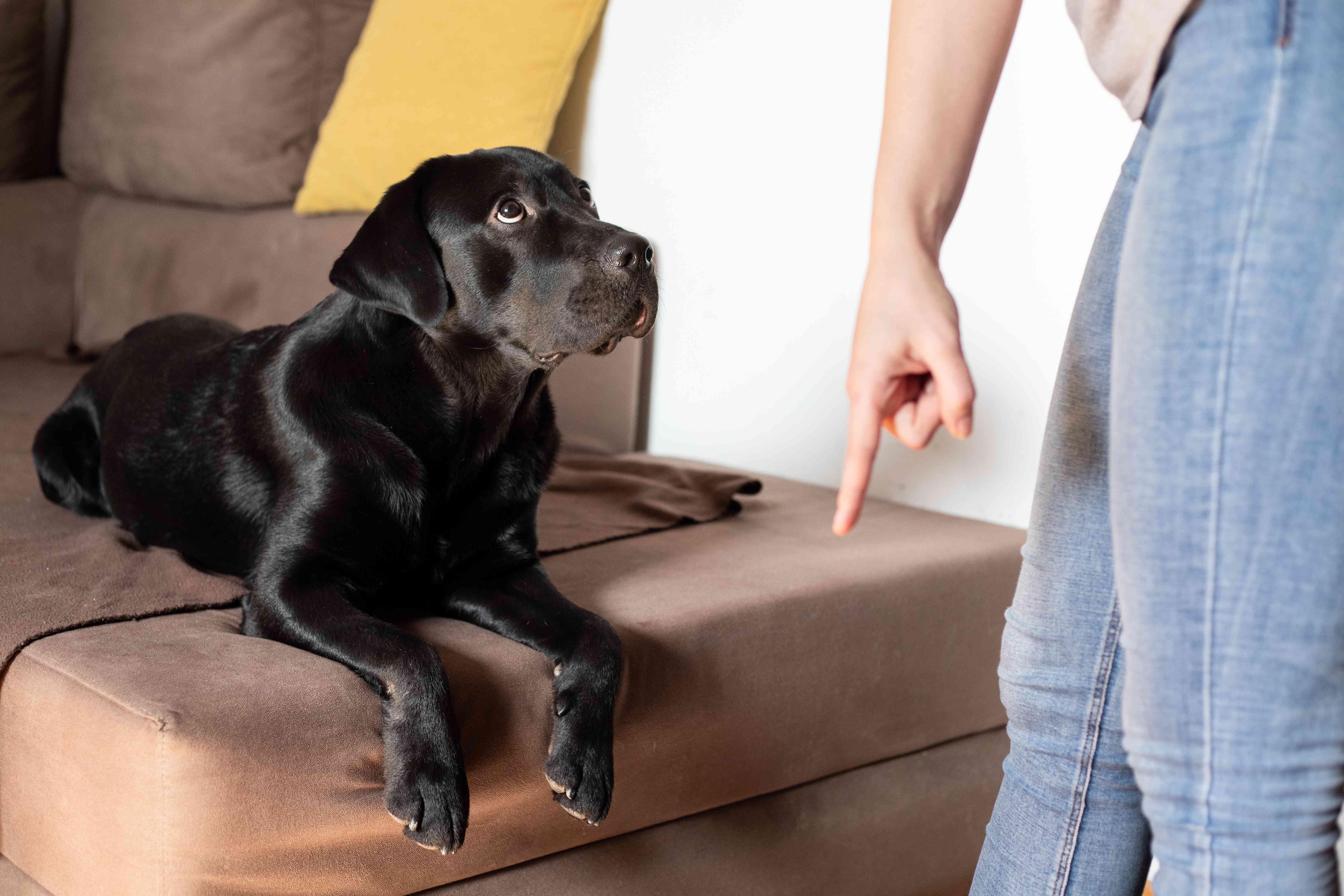 person commands dog to get off the couch while dog looks confused