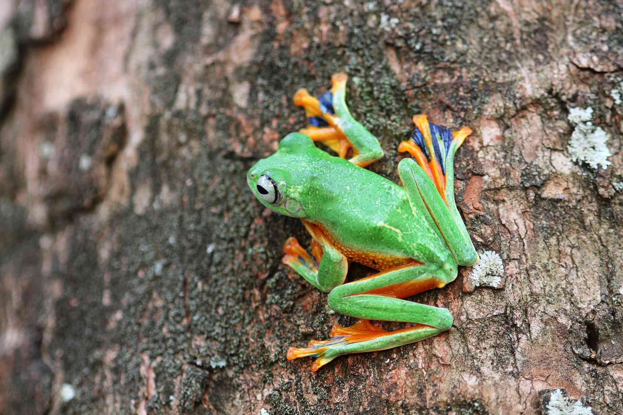 A green Wallace's flying frog with purple and orange feet on the side of a tree trunk