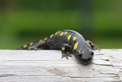 A spotted salamander crawling over wood.