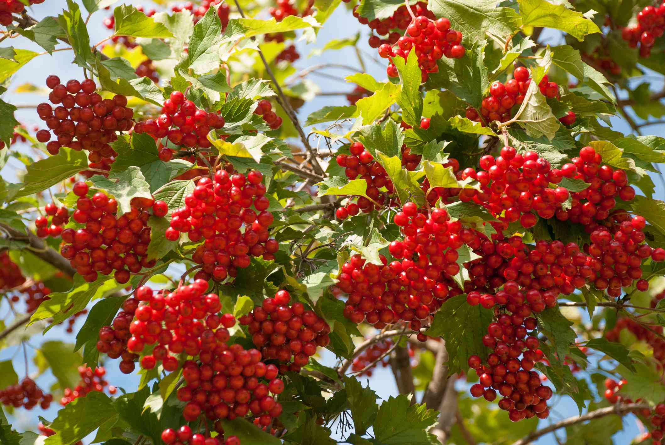 Mapleleaf Viburnum with red berries