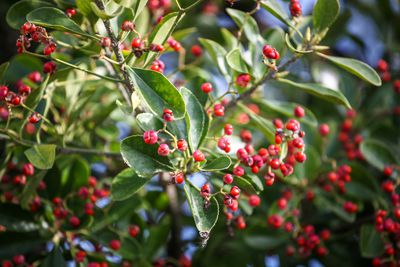 Yaupon Holly (Ilex Vomitoria)