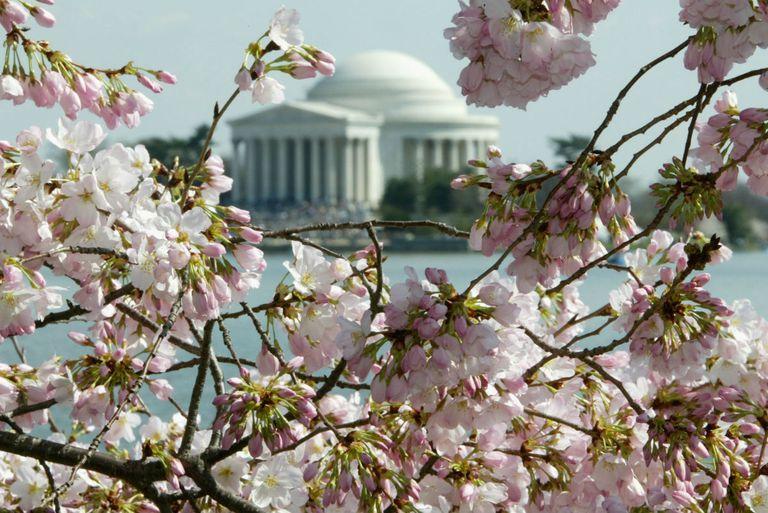 Las flores de cerezo pintarán Washington, DC, rosa