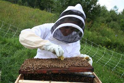 Beekeeper pinching the queen bee