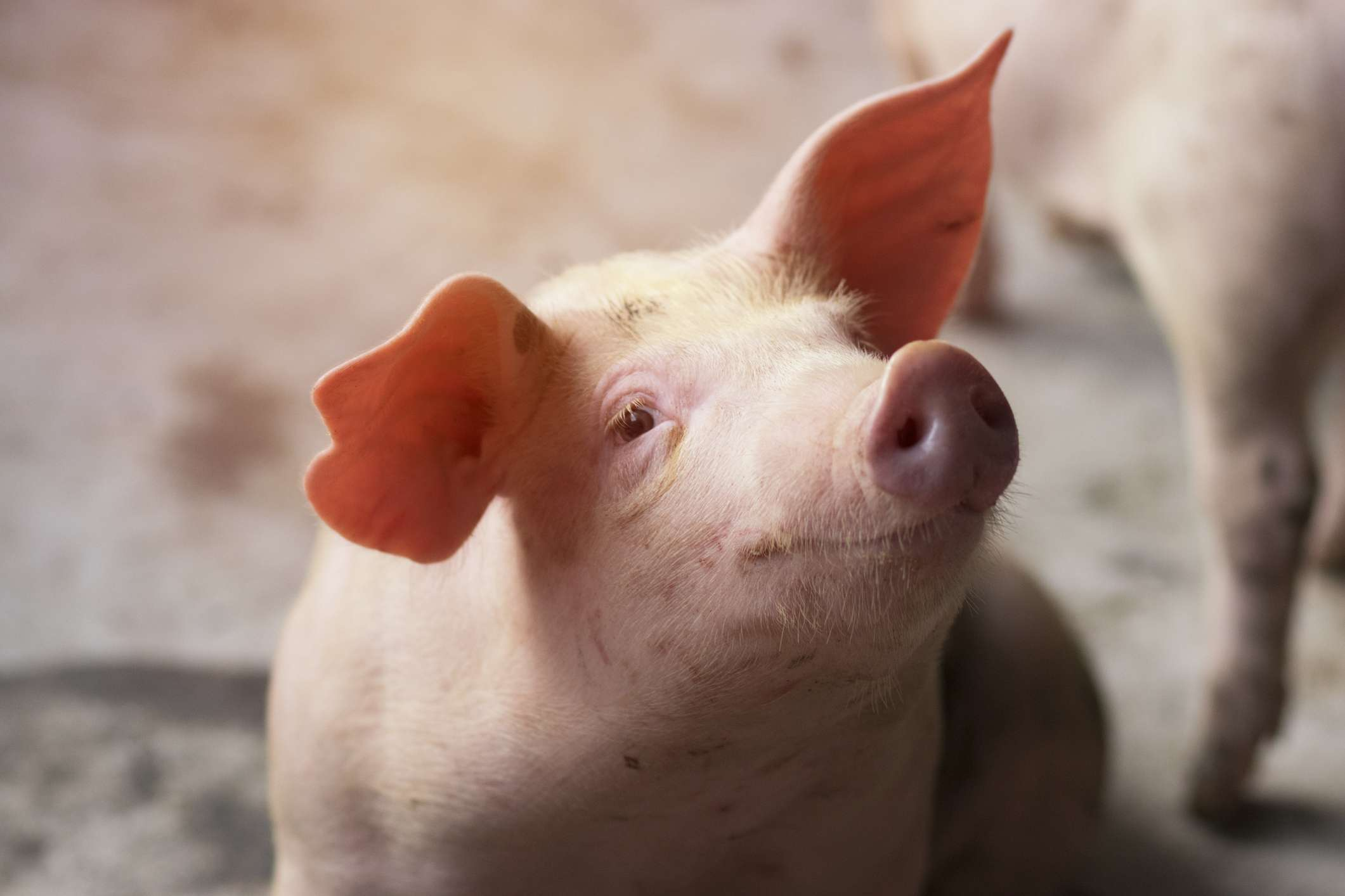 Close-Up Of Piglet At Farm