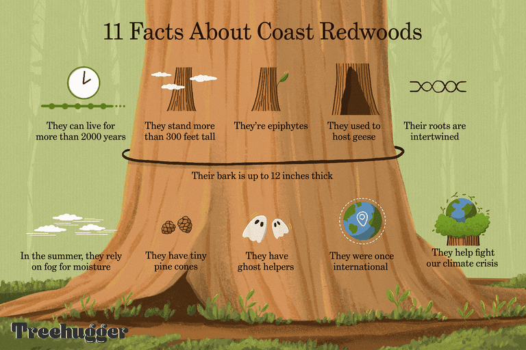 11 facts coast redwoods