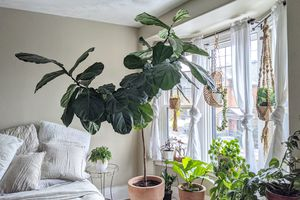 enormous fiddle leaf fig and other houseplants grouped near window during winter