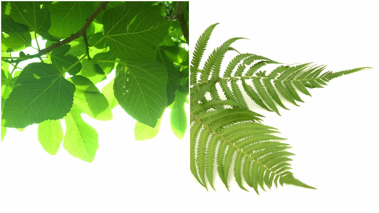 Fig tree leaves compared to fern leaves