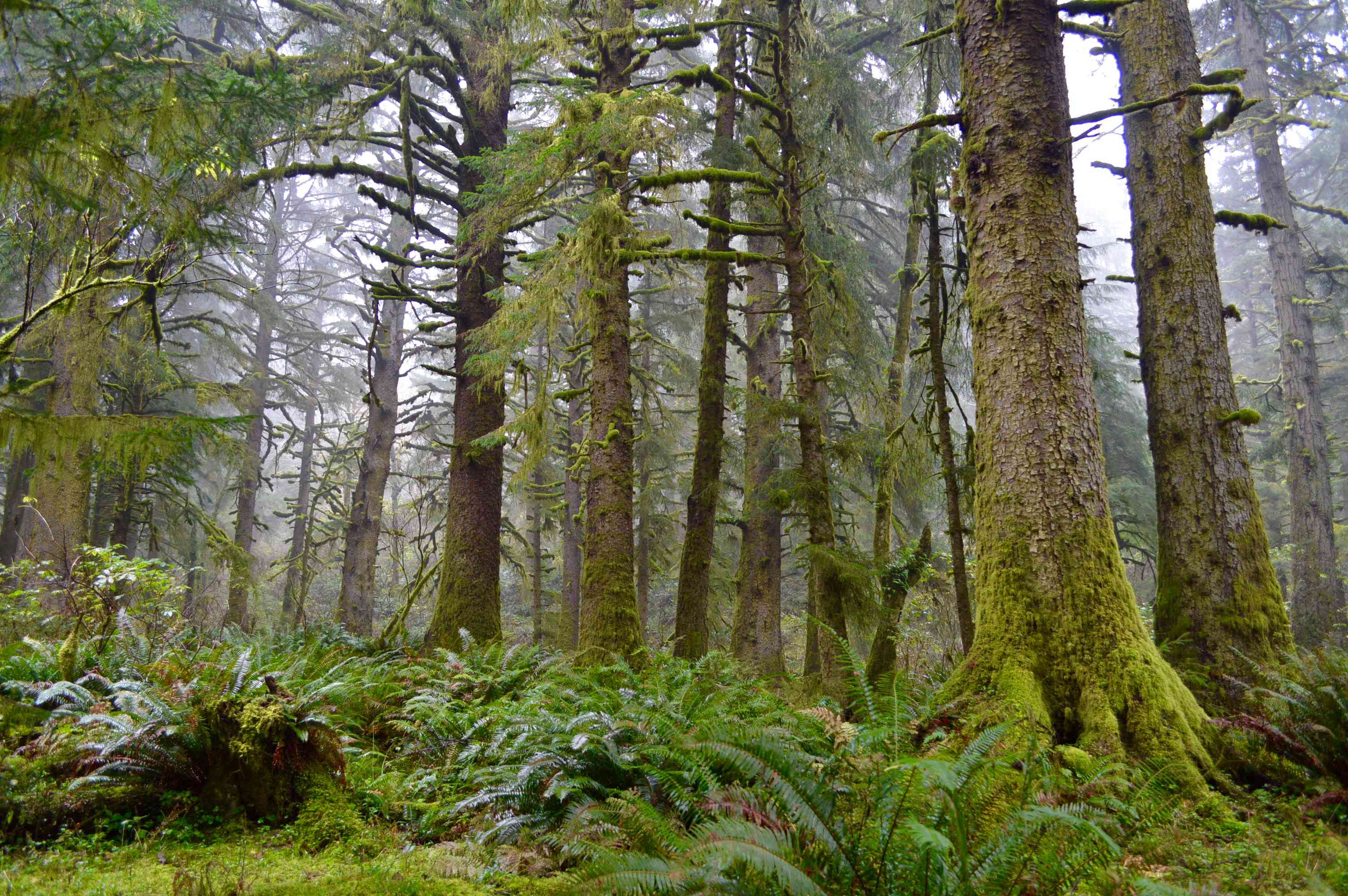 old-growth forest in Oregon