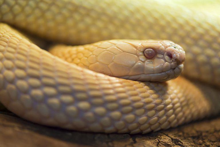 An albino snake looks ahead.