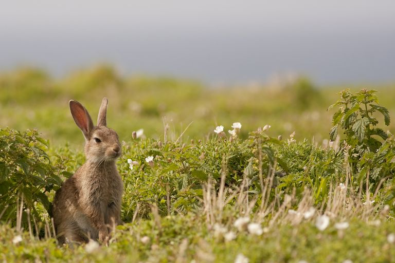 Wild rabbit among white flowers in a field.