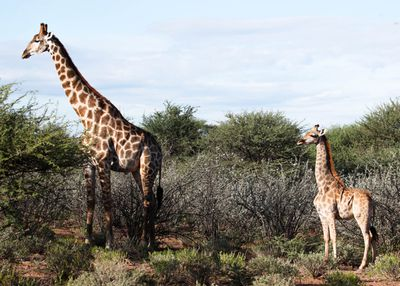 Dwarf giraffe in Namibia with adult male in March 2018.