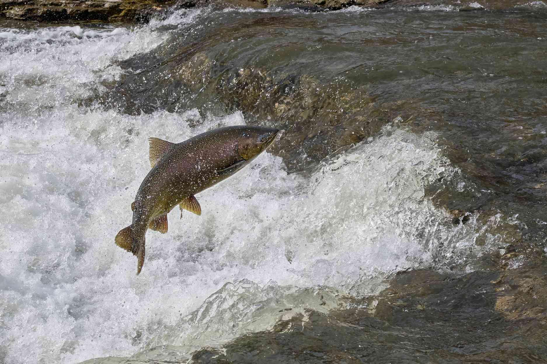 tan chinook salmon jumps above turbulent water