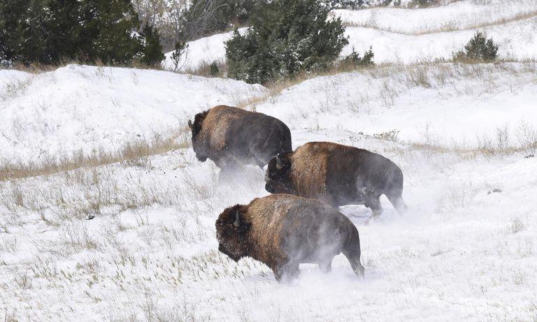 Mira el regreso de estos magníficos bisontes a las tierras baldías (vídeo)