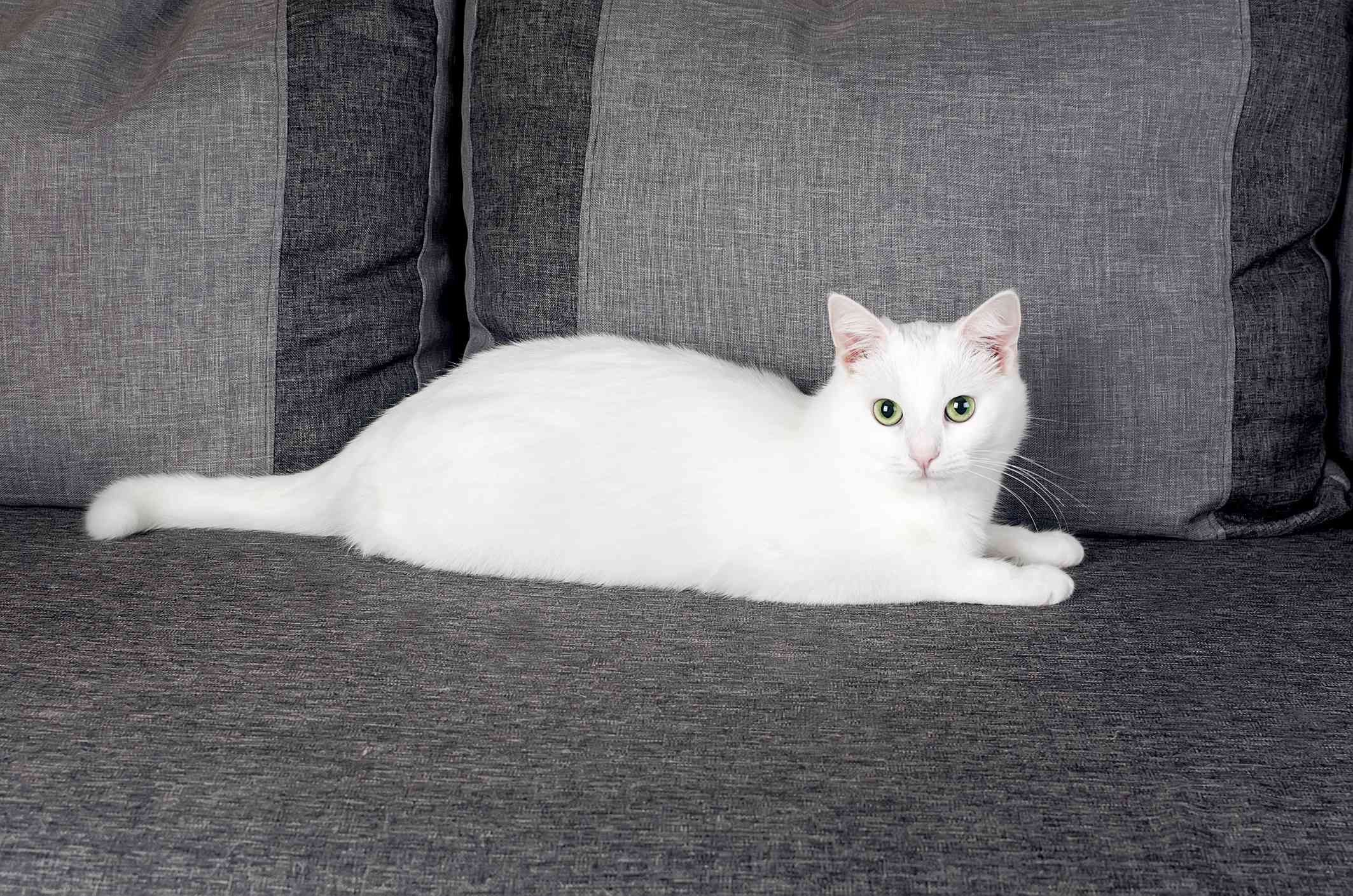 white Turkish angora cat stretched out on a gray couch