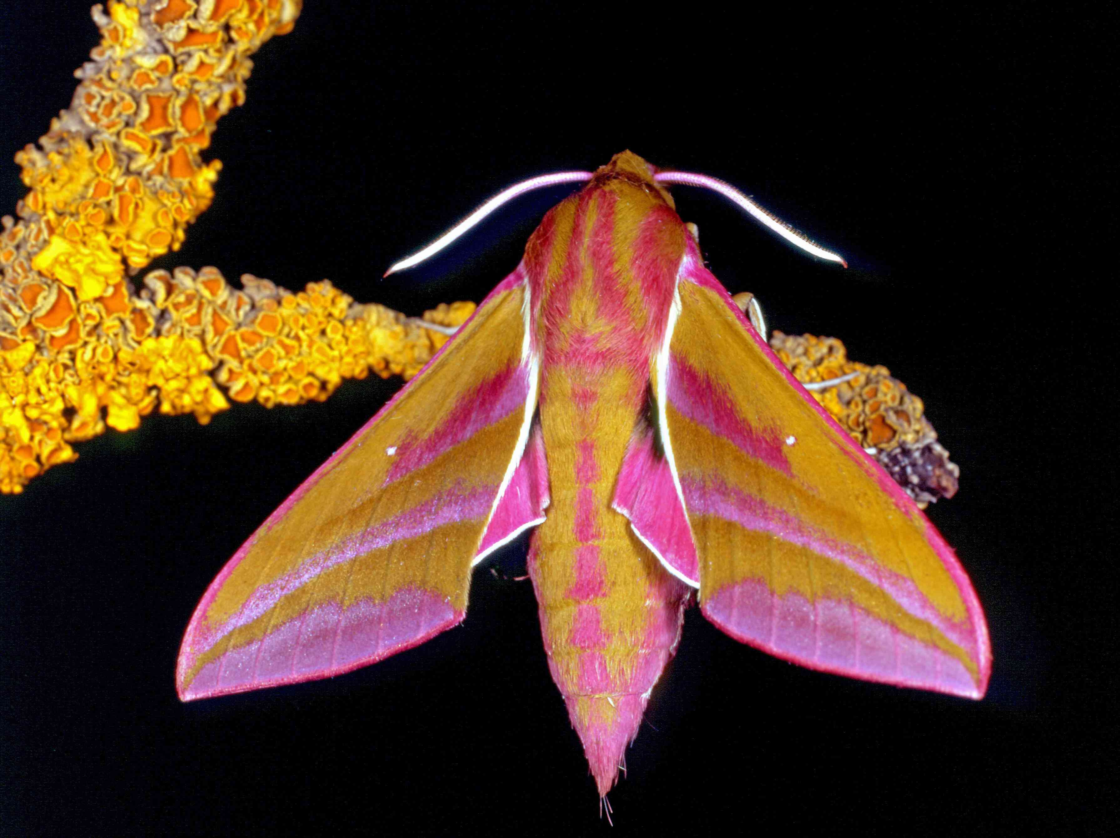 A yellow and pink moth sits on a twig in front of a black background