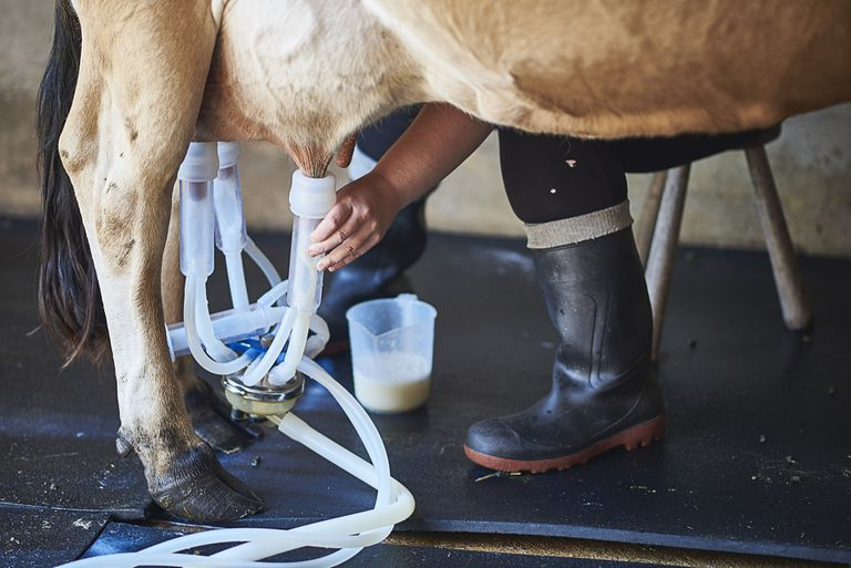 Close up of milk maid milking a cow