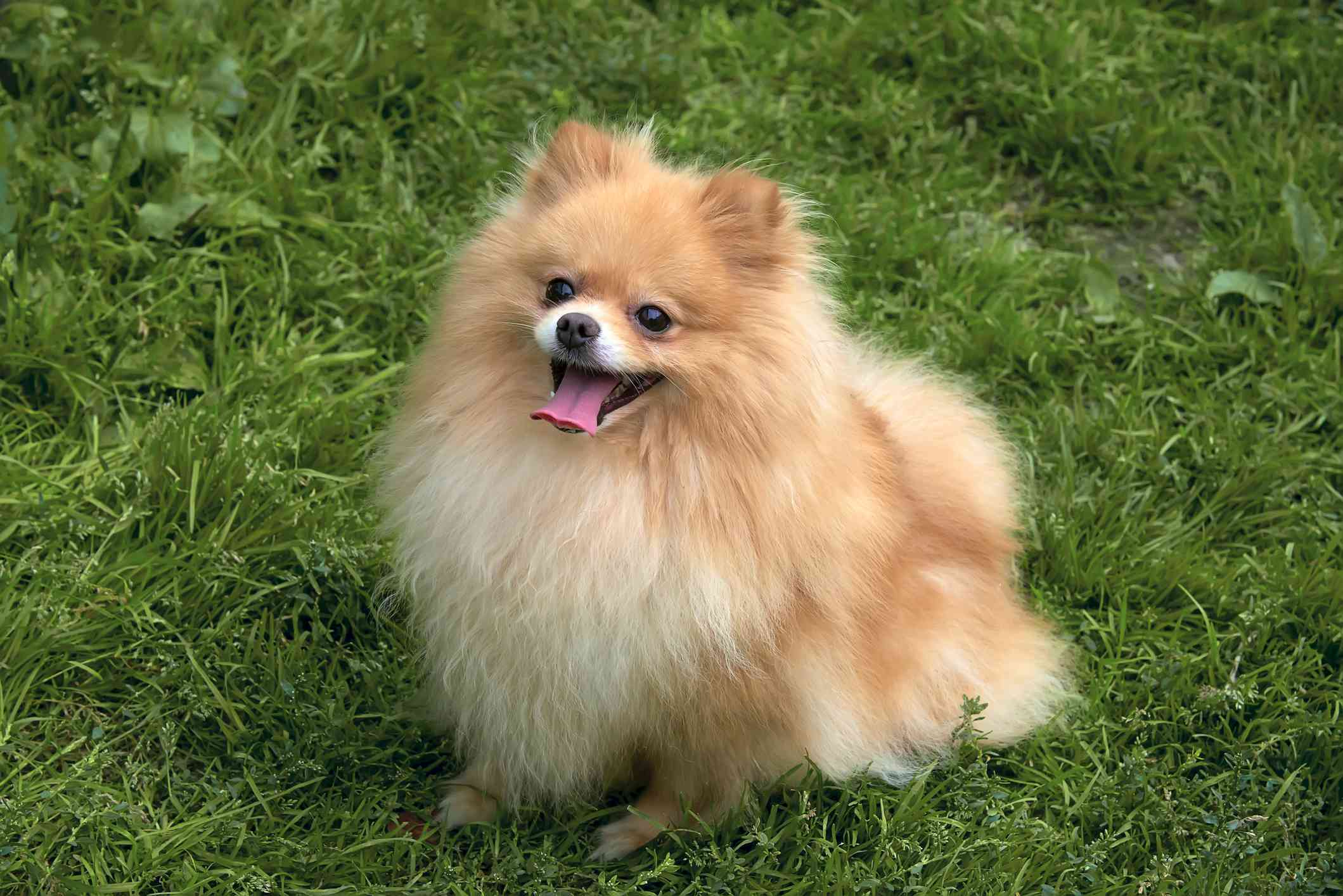 fluffy tan pomeranian sits on green grass with smiling face and tongue hanging out