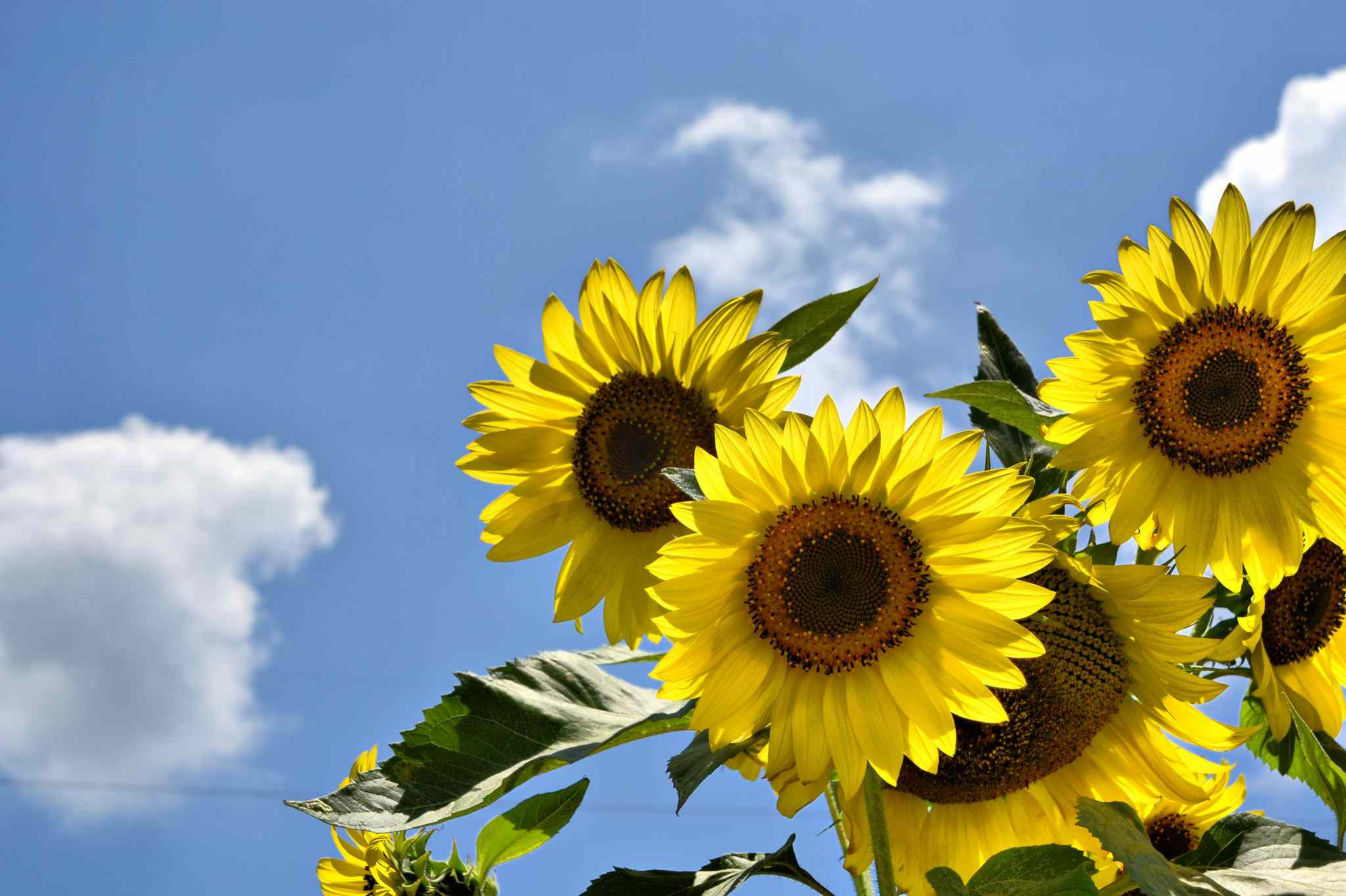 Sunflowers blooming against a blue sky