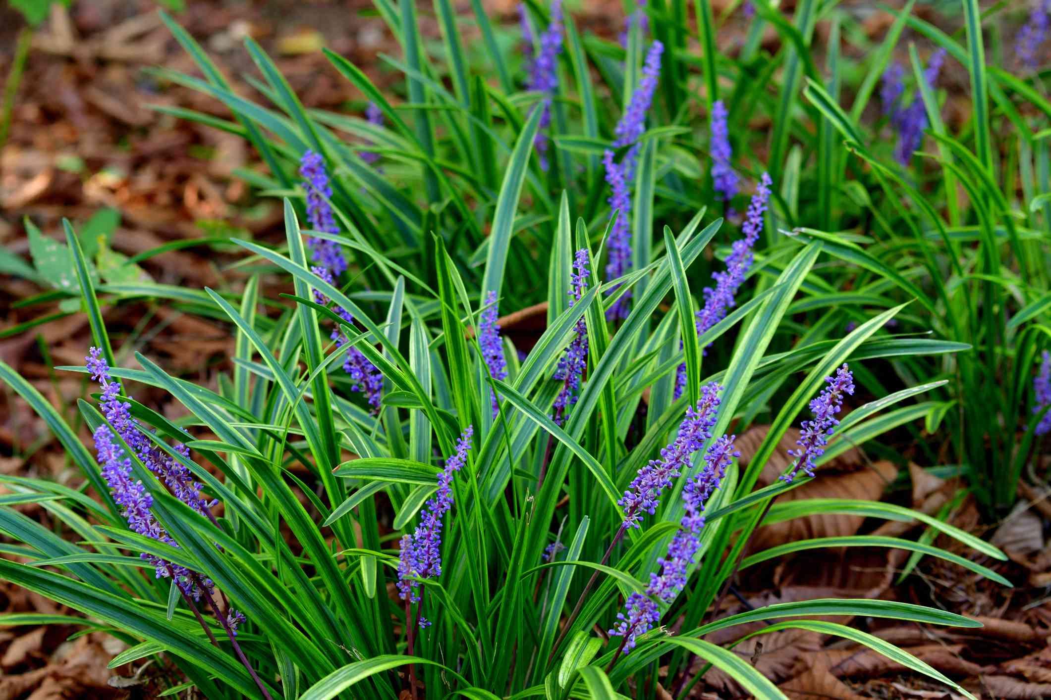 Liriope muscari / Lilyturf / Monkey grass Flower