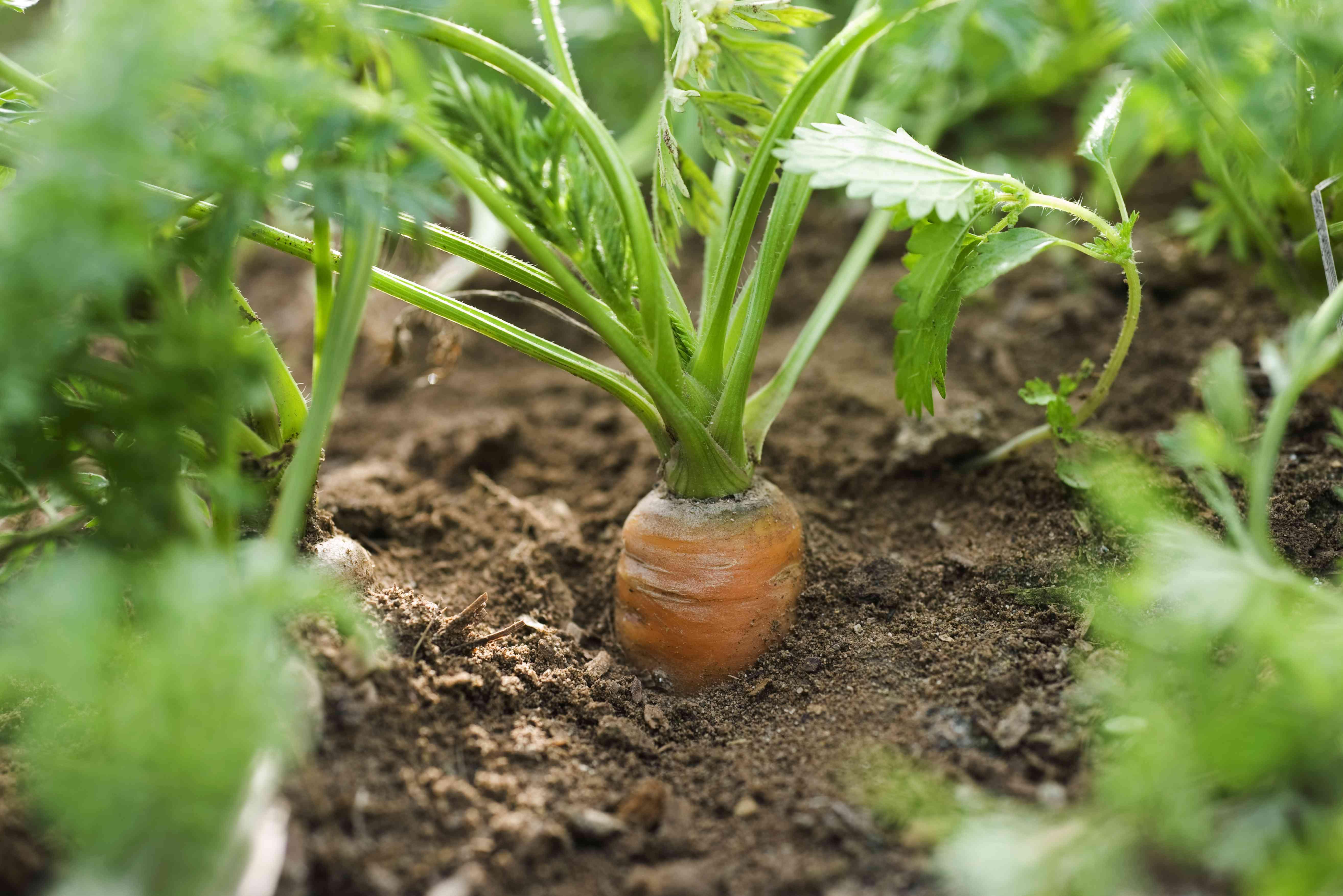 Orange carrot growing in vegetable garden