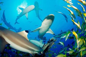 reef shark photo