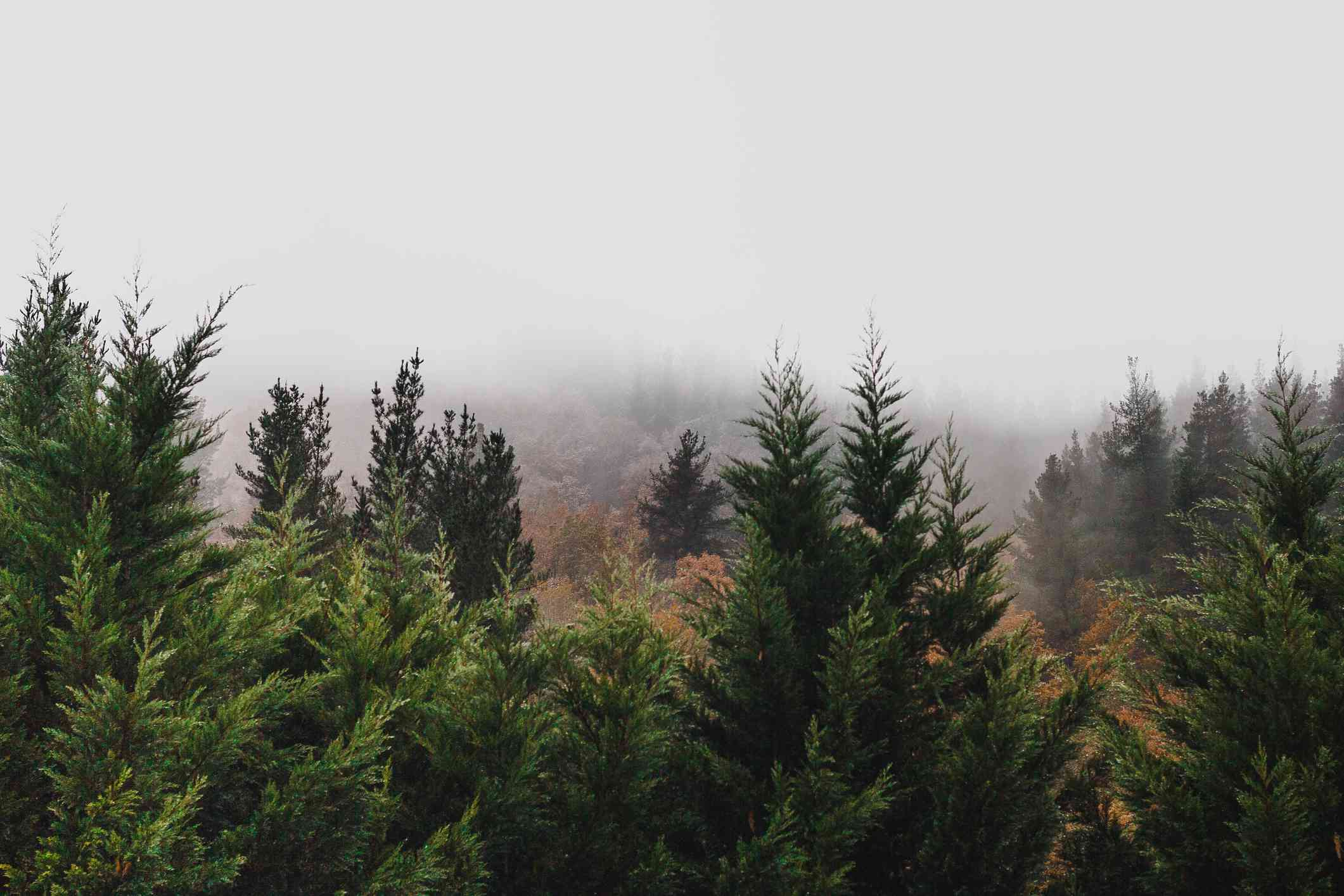 Fir tree forest with misty backdrop.