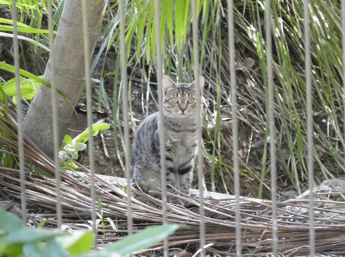 A feral cat in Australia