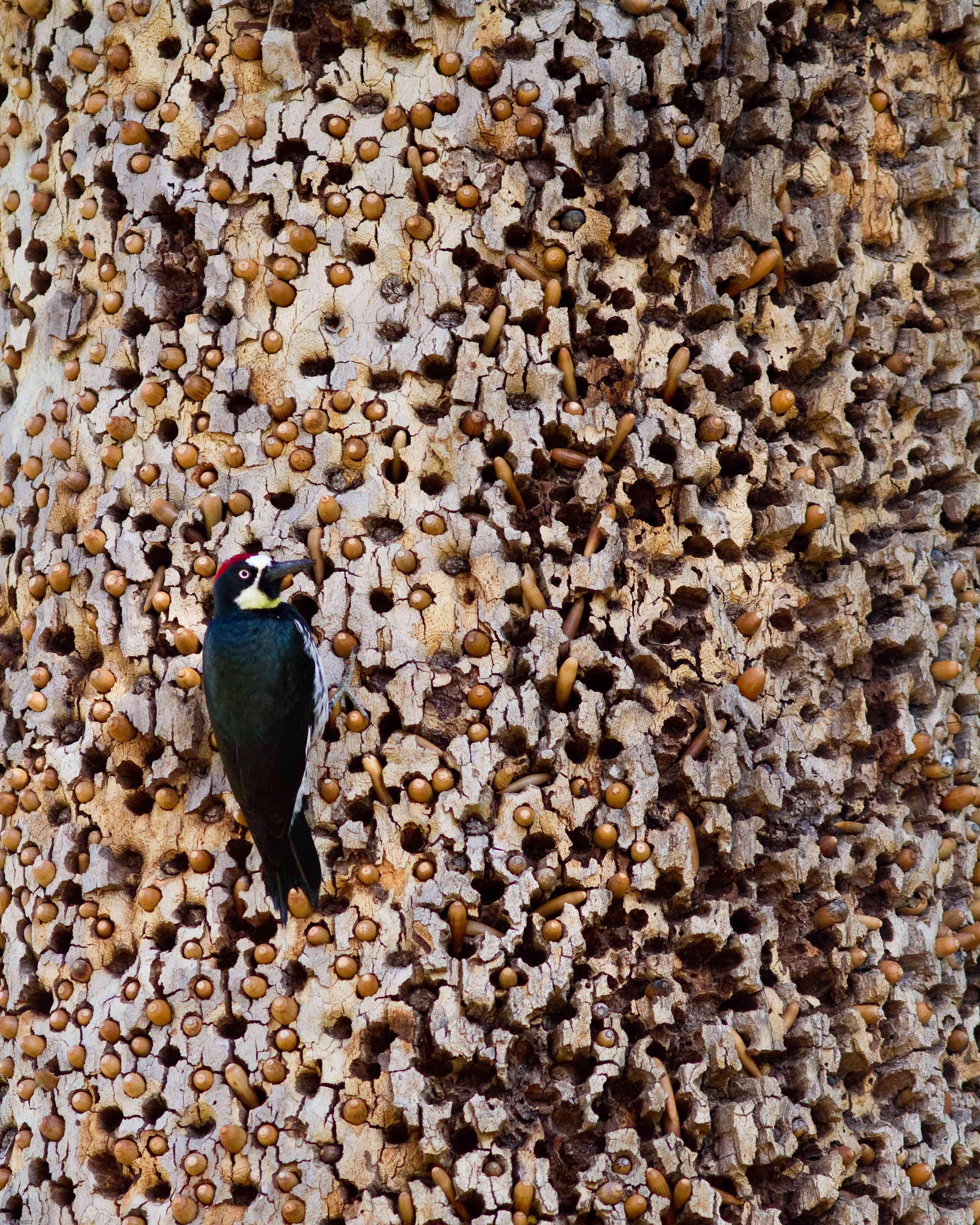 acorn woodpecker on a granary tree